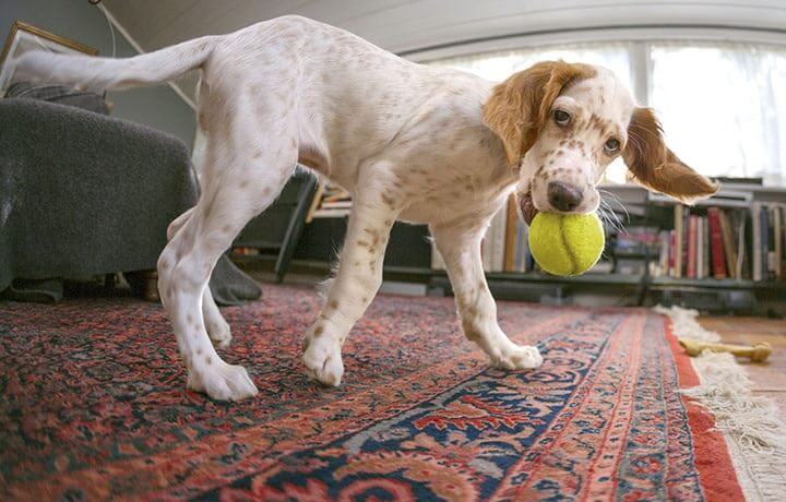 Dog playing with a tennis ball on an oriental rug in a living room.