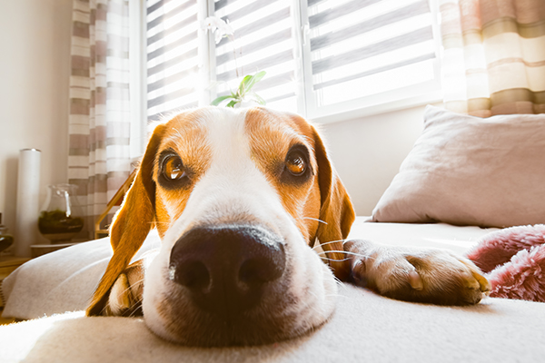 Close up of dog on couch in living room