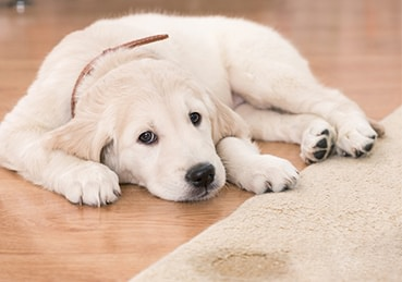 Puppy laying next to a rug that it peed on.