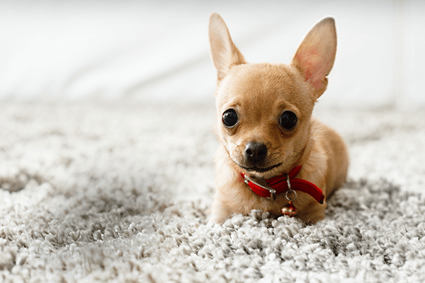 Small dog on clean carpet